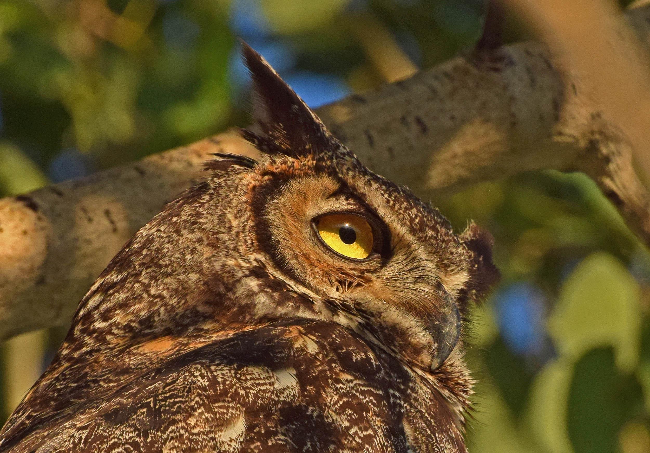 owl eye dk lt (1)