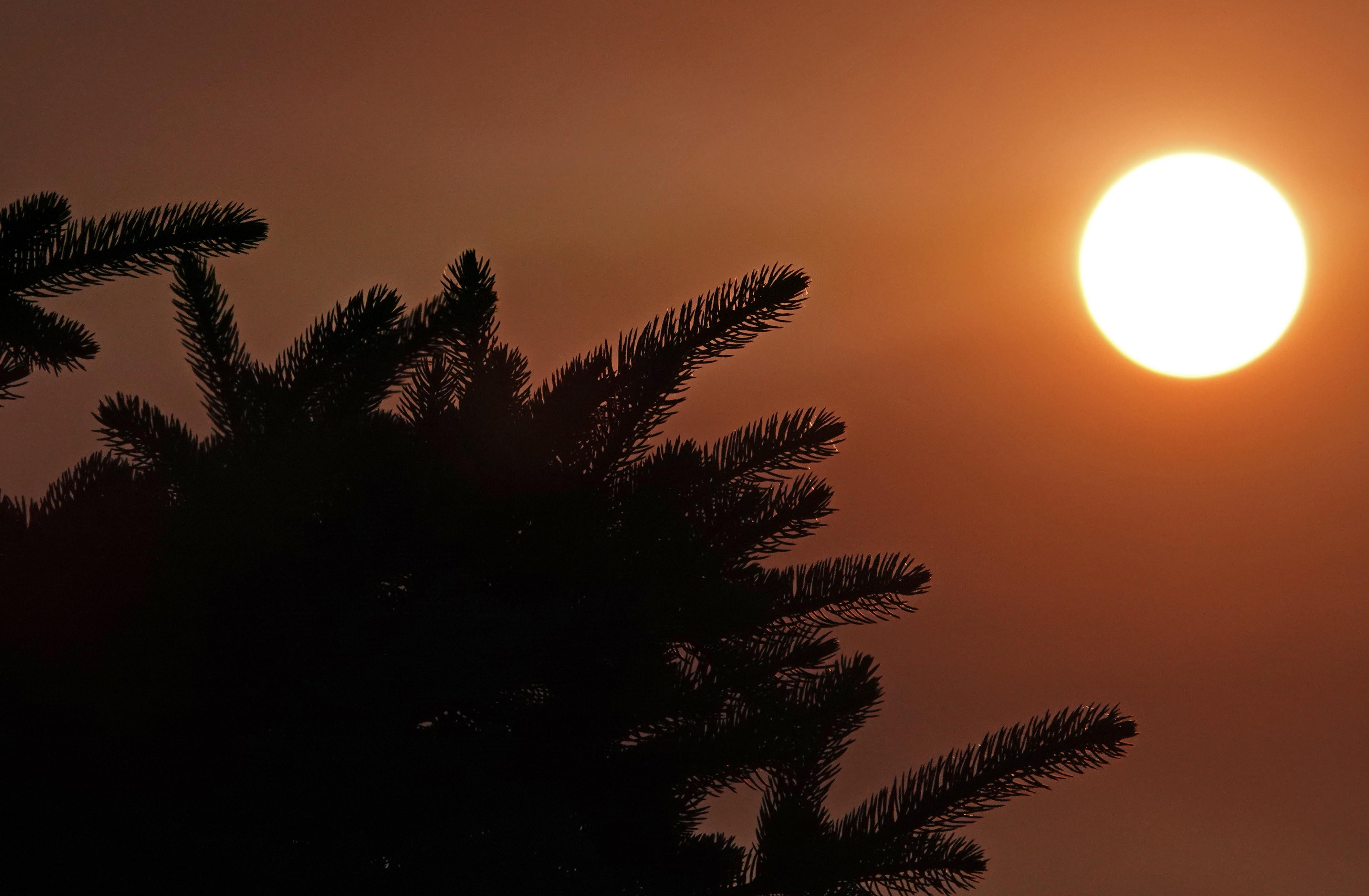 sun spruce 1 (1)