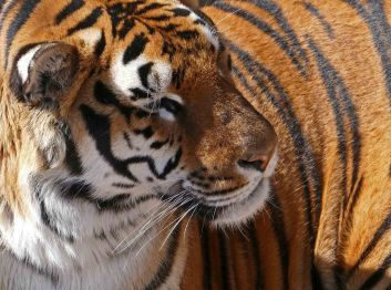 tigr klos